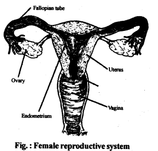 ncert-solutions-for-class-12-biology-human-reproduction-2