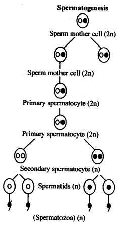 ncert-solutions-for-class-12-biology-human-reproduction-3