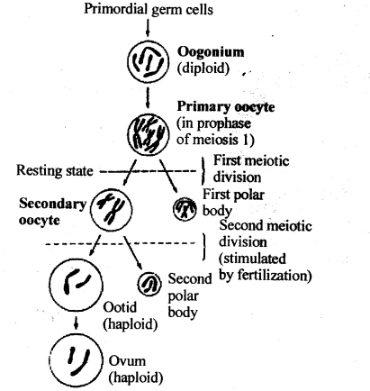 ncert-solutions-for-class-12-biology-human-reproduction-4